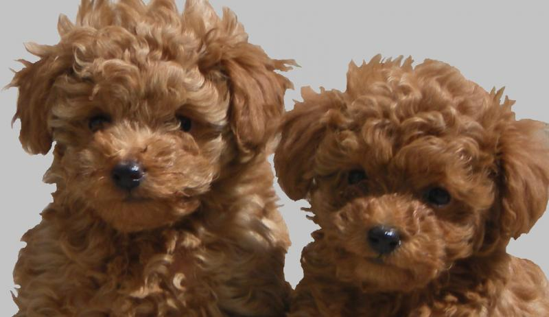 So cute and cuddly. Beautiful red toy puppies!