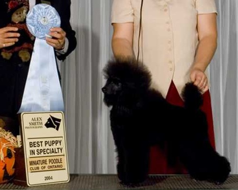 Keesha wins Best Puppy in Specialty at the Miniature Poodle Club of Ontario